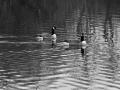Canada Geese on Langford Lake